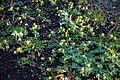 Church of St Mary, Stapleford Tawney, Essex, England - aconites and snowdrops 2.jpg