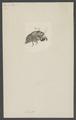 Cicada - Print - Iconographia Zoologica - Special Collections University of Amsterdam - UBAINV0274 002 02 0064.tif