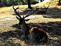 Ciervos a la sombra de las encinas.jpg