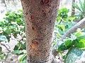 Cinnamomum zeylanicum bark.JPG