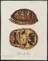 Cistudo carolina - schild - 1700-1880 - Print - Iconographia Zoologica - Special Collections University of Amsterdam - UBA01 IZ11600091.tif