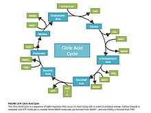 Citric Acid Cycle Graphic.jpeg