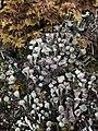 Cladonia fimbriata 58059538.jpg