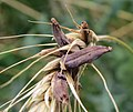 Claviceps purpurea 38021955.jpg