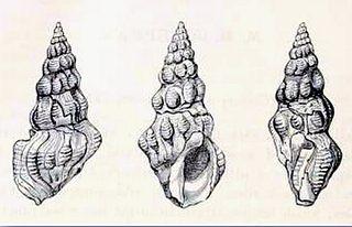 <i>Clavus albotuberculatus</i> Species of gastropod