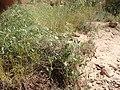Clematis ligusticifolia kz04.jpg