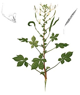 <i>Cleome gynandra</i> species of plant