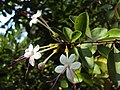 Clerodendron inerme 07.JPG