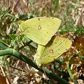 Clouded Yellows mating. Colias crocea - Flickr - gailhampshire.jpg