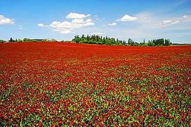 Клеверные поля в Орегоне