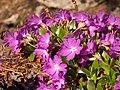 Clusius-Primel (Primula clusiana) 01.jpg