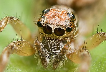 "This jumping spider's main ocelli (center pair) are very acute. The outer pair are ""secondary eyes"" and there are other pairs of secondary eyes on the sides and top of its head. Clynotis severus, AF 2.jpg"