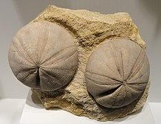Clypeus plotti, echinoid, Middle Jurassic, Gloucester, Gloucestershire, England - Houston Museum of Natural Science - DSC01800
