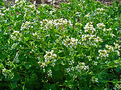 Cochlearia officinalis 001.JPG