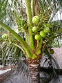 Coconut Tree During Green Condition.jpg