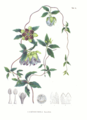 Codonopsis lanceolata SZ91.png