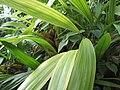 Coelogyne trinervis, RBGE 2009.jpg