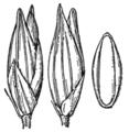 Coleataenia longifolia ssp longifolia (as Panicum longifolium) HC-1935.png