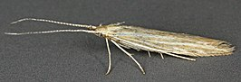 Coleophora follicularis, North Wales, June 2011 (18847611054).jpg