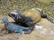 Collared Lizard (Crotaphytus collaris, on left) and Common Chuckwallah (Sauromalus ater, on right).