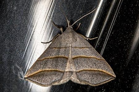 Colobochyla salicalis01(js), Lodz(Poland).jpg