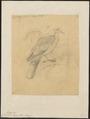 Columba meyeri - 1868 - Print - Iconographia Zoologica - Special Collections University of Amsterdam - UBA01 IZ15600187.tif