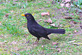 Common Blackbird (Turdus merula).jpg