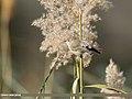 Common Chiffchaff (Phylloscopus collybita) (48088976712).jpg