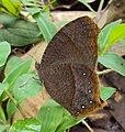 Common Evening Brown -Melanitis phedima 01.JPG