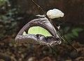Common Nawab Polyura athamas UN by Dr. Raju Kasambe DSCN0315 (5).jpg