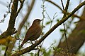 Common Nightingale (Luscinia megarhynchos) (26460869366).jpg