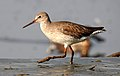 Common Redshank Tringa totanus by Dr. Raju Kasambe DSCN0790 (2).jpg