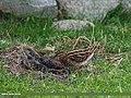 Common Snipe (Gallinago gallinago) (30044680851).jpg
