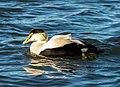 Common eider male at Jones Beach (04738).jpg