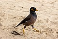 Common myna at Kata Beach, Phuket, Thailand.jpg