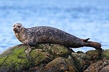 Common seal (Phoca vitulina).jpg