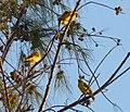 Communal Nesting Village Weavers - Flickr - gailhampshire (2).jpg