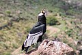 Condor Macho adulto.jpg