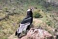 Condor Macho adulto.jpg