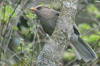 Great parrotbill species of bird