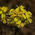 Contra Costa Wallflower (Erysimum capitatum var. angustatum) (8646050977).jpg