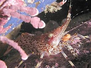 Coonstripe shrimp.jpg