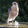 Cooper's Hawk (36362248836).jpg