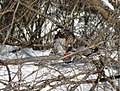 Cooper's hawk feeding on a blue jay 5.jpg