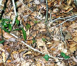 Southern Copperhead Snake Pictures