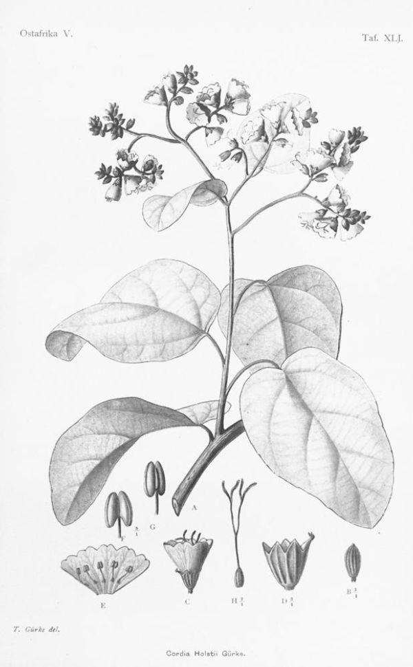 how to grow myrmecodia beccarii