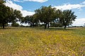 Cork oak (42737730901).jpg
