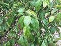 Cornus hongkongensis 03.jpg
