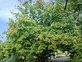 Cornus officinalis-2.JPG