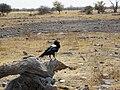 Corvus albus Etosha 2014 (1).jpg